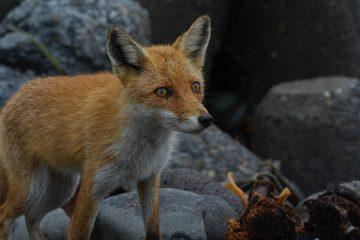 A wild fox on the beach in Rausu, Hokkaido, Japan